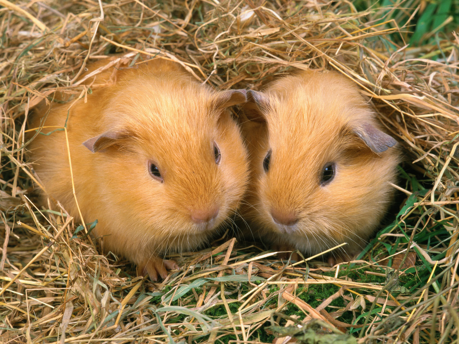 Free Guinea Pig high quality background ID:270964 for hd 1600x1200 PC