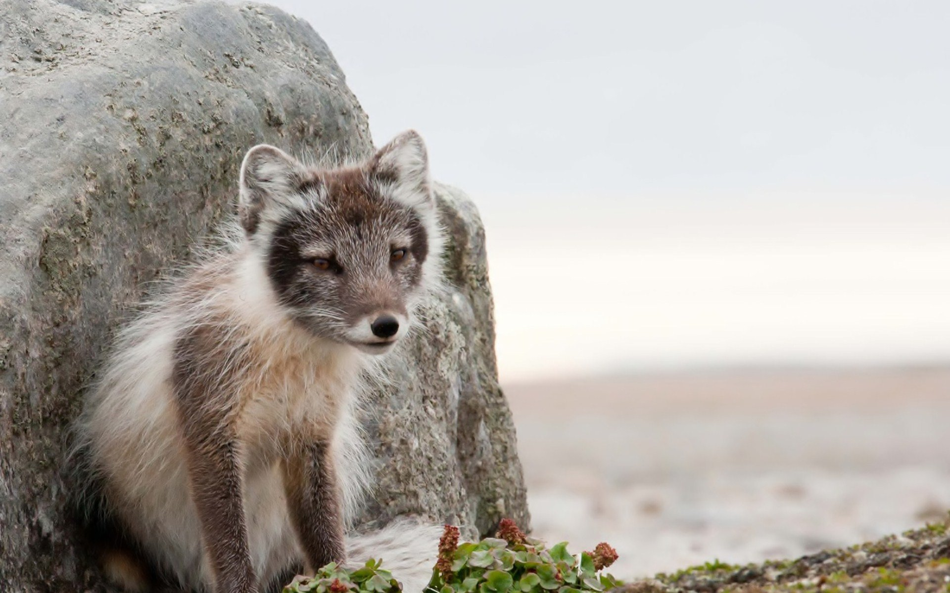 High resolution Arctic Fox hd 1920x1200 background ID:98761 for desktop