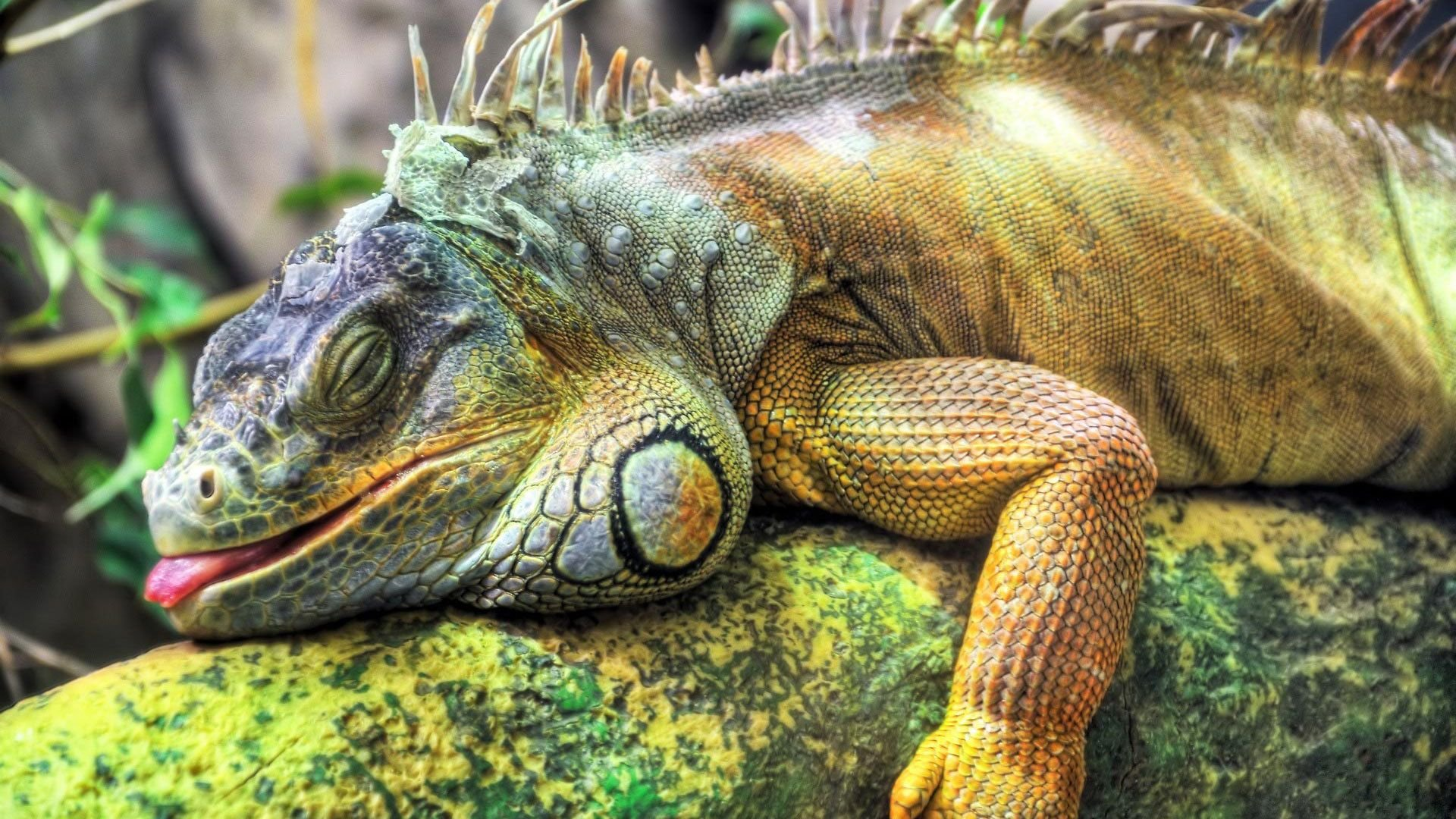 Download hd 1080p Iguana desktop wallpaper ID:380911 for free