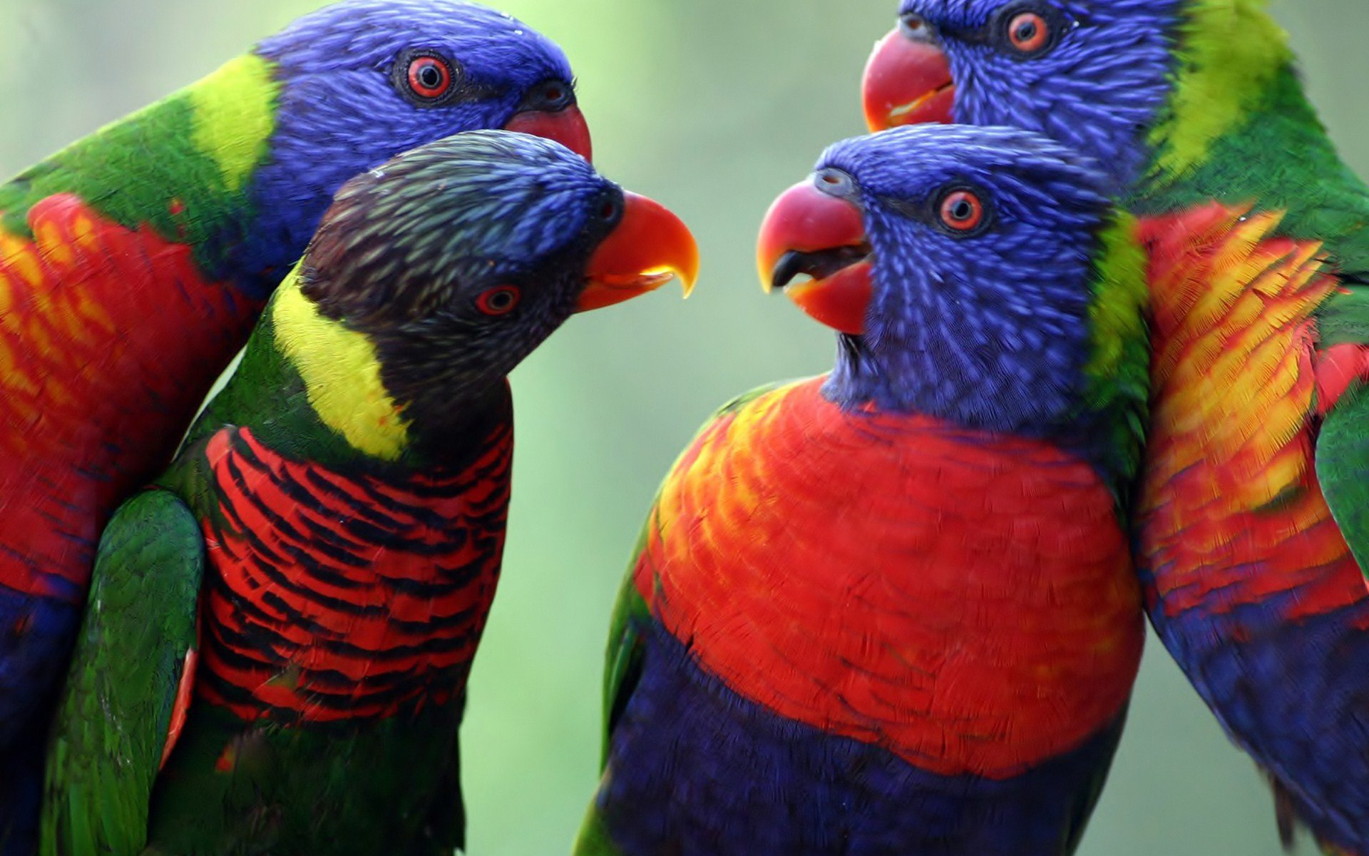 Download hd 1920x1200 Rainbow Lorikeet PC background ID:10149 for free