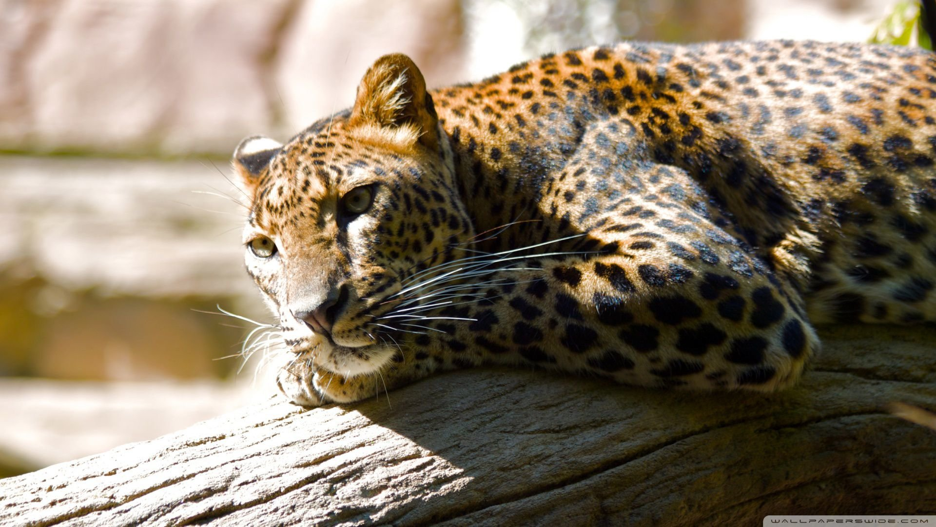 Free Leopard high quality background ID:448233 for full hd PC