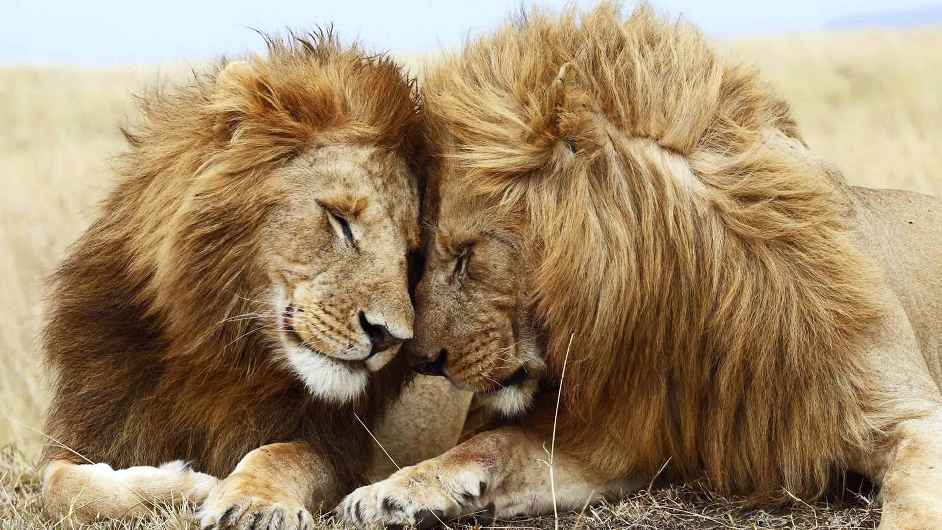 Free Lion High Quality Wallpaper Id255466 For Full Hd 1080p