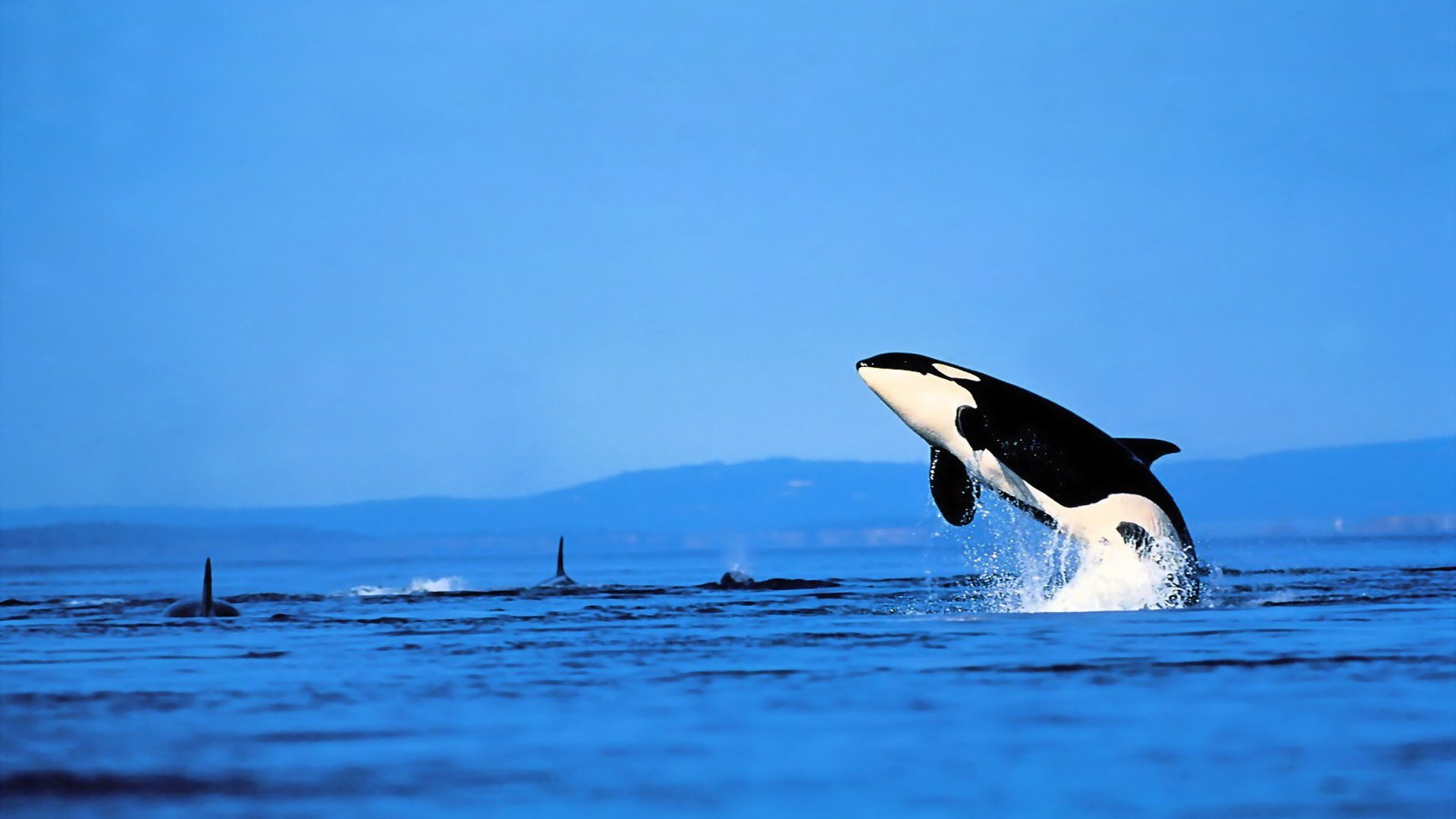 Awesome Orca free background ID:384451 for 1080p computer
