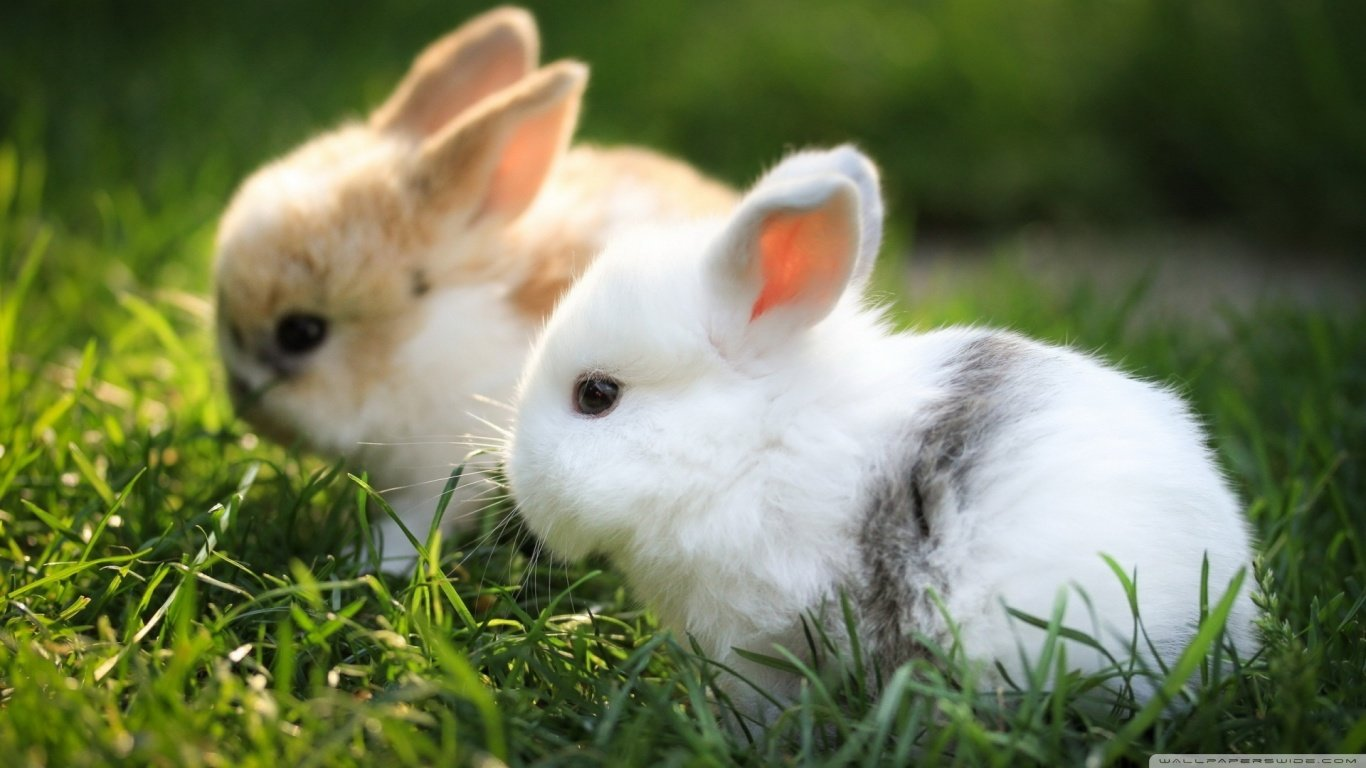 Awesome Rabbit & Bunny free background ID:248998 for hd 1366x768 computer