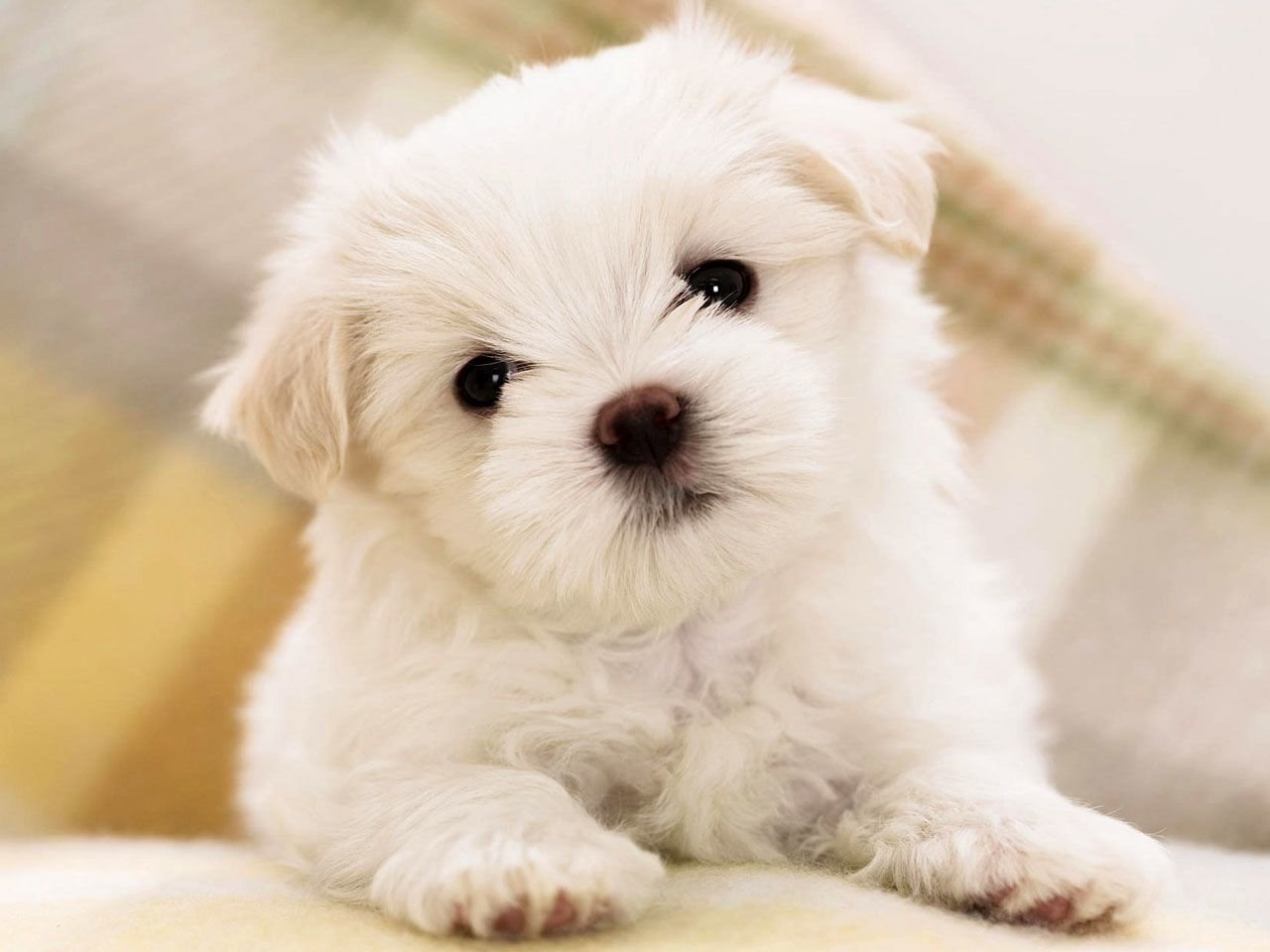 Awesome Maltese free wallpaper ID:47077 for hd 1280x960 desktop