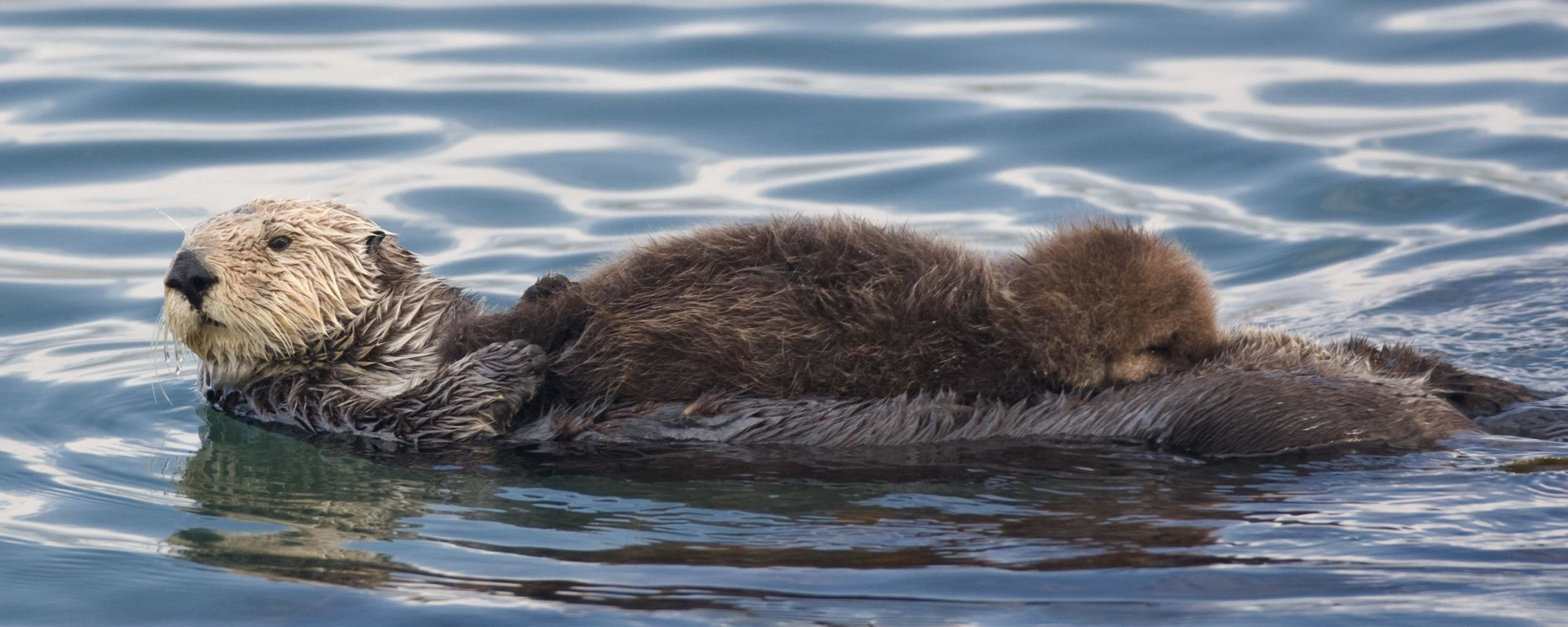 Free download Otter background ID:207635 dual screen 2560x1024 for desktop