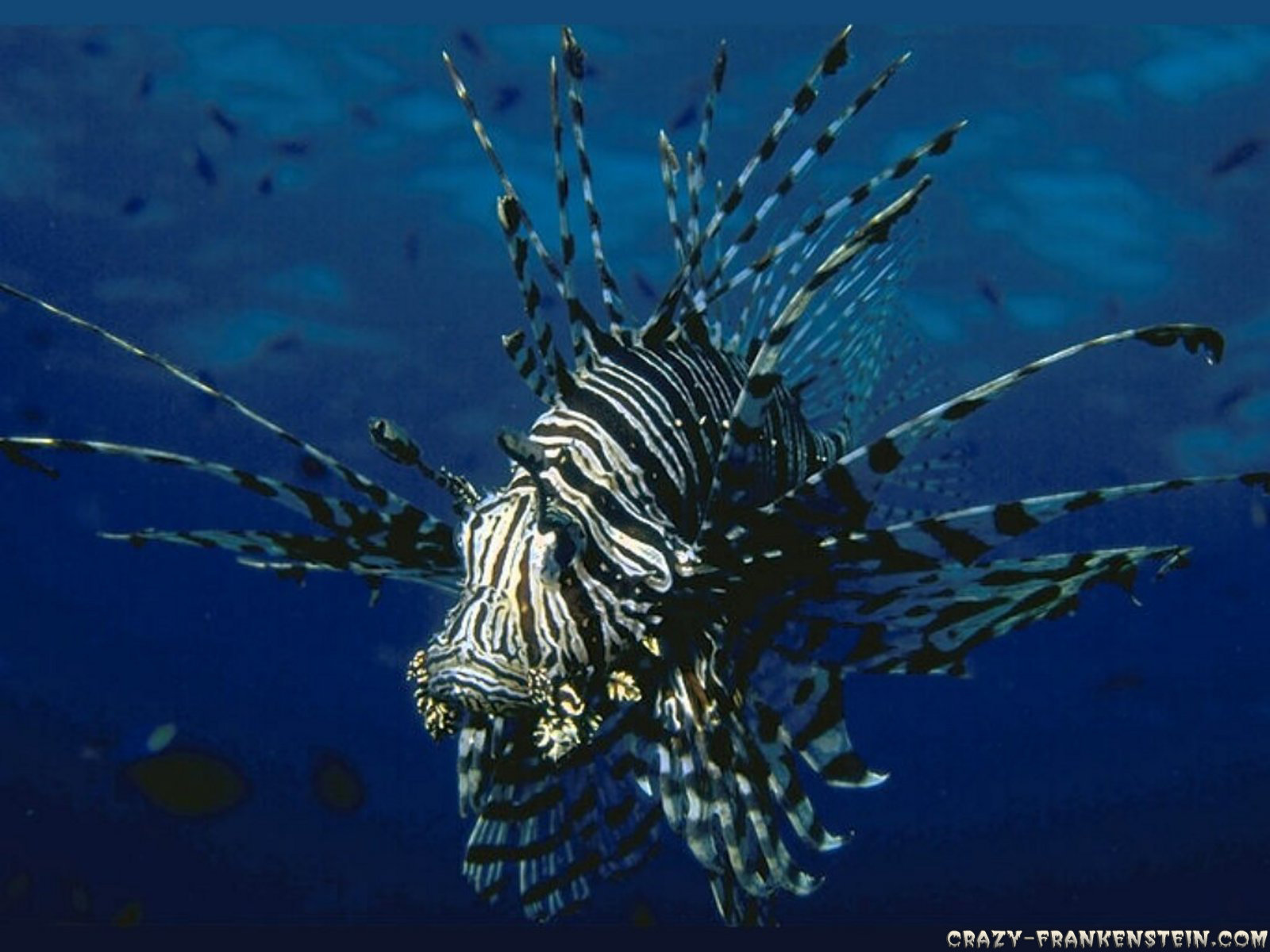Download hd 1600x1200 Lionfish PC wallpaper ID:438232 for free