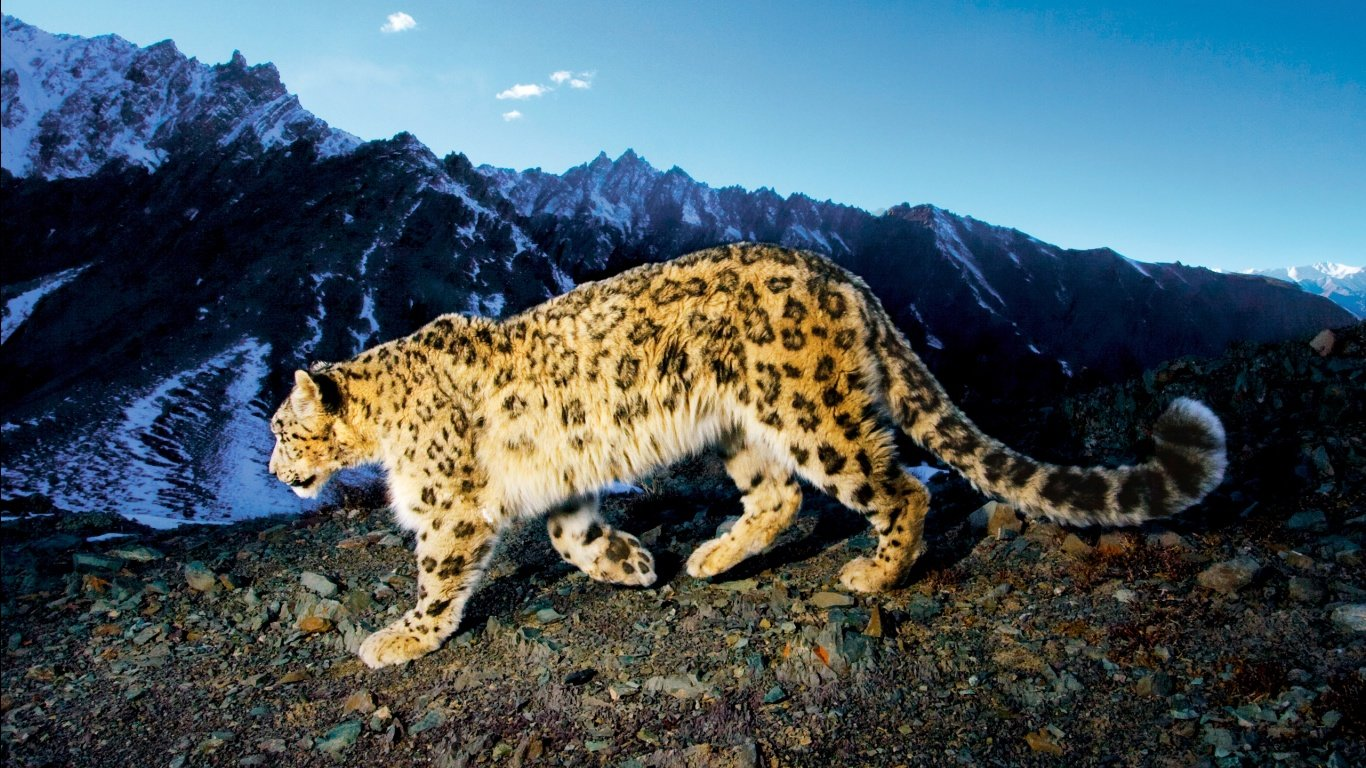 High resolution Snow Leopard 1366x768 laptop wallpaper ID:34404 for computer