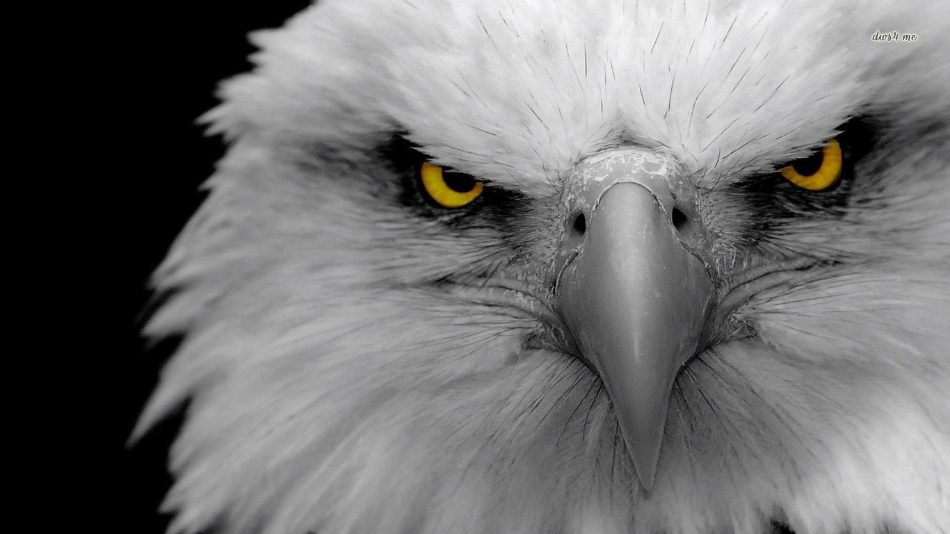 Awesome American Bald Eagle free background ID:68639 for 1366x768 laptop computer