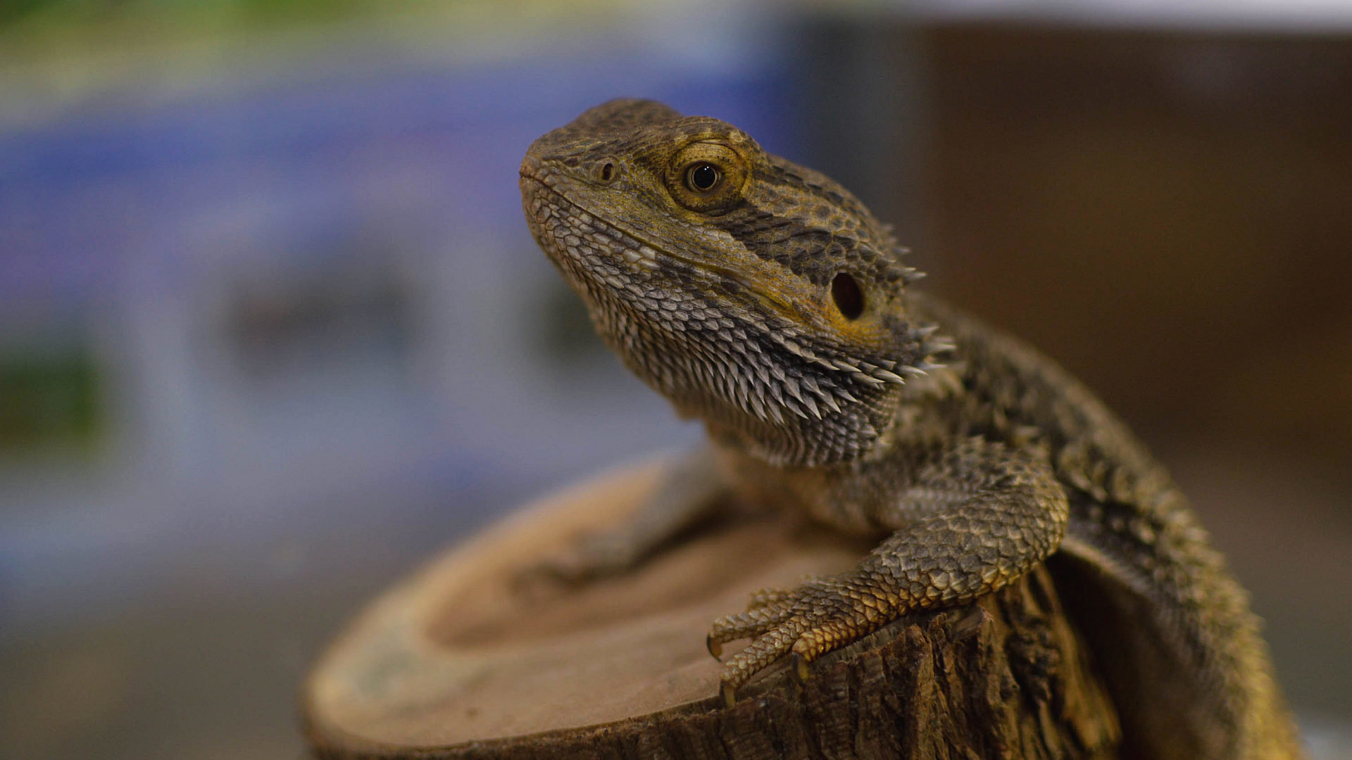High resolution Bearded Dragon 1080p background ID:396836 for desktop