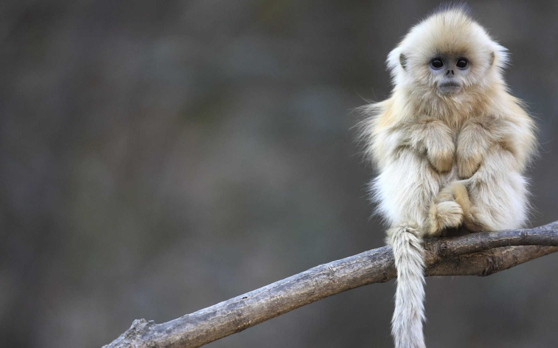 High resolution Golden Snub-nosed Monkey hd 1920x1200 background ID:29629 for desktop
