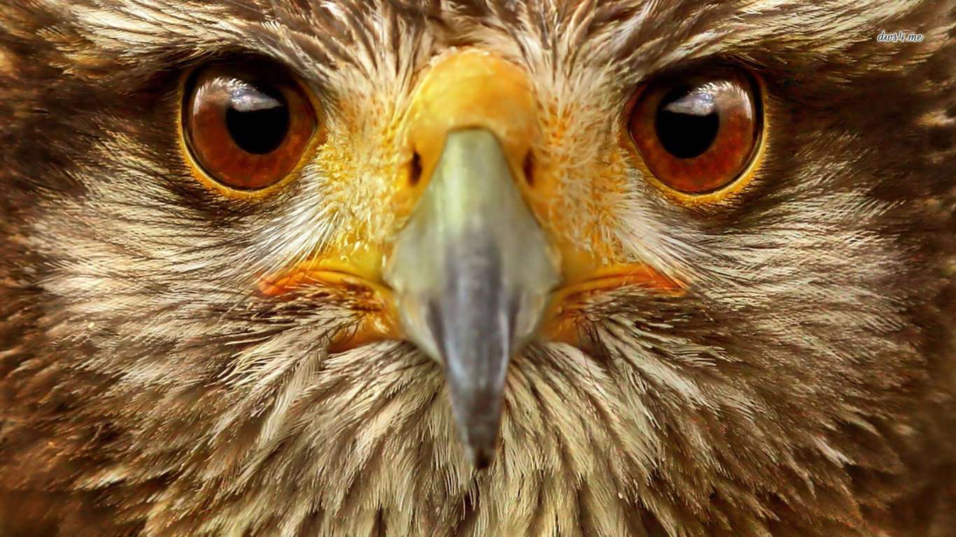 Free Hawk high quality background ID:122564 for laptop computer