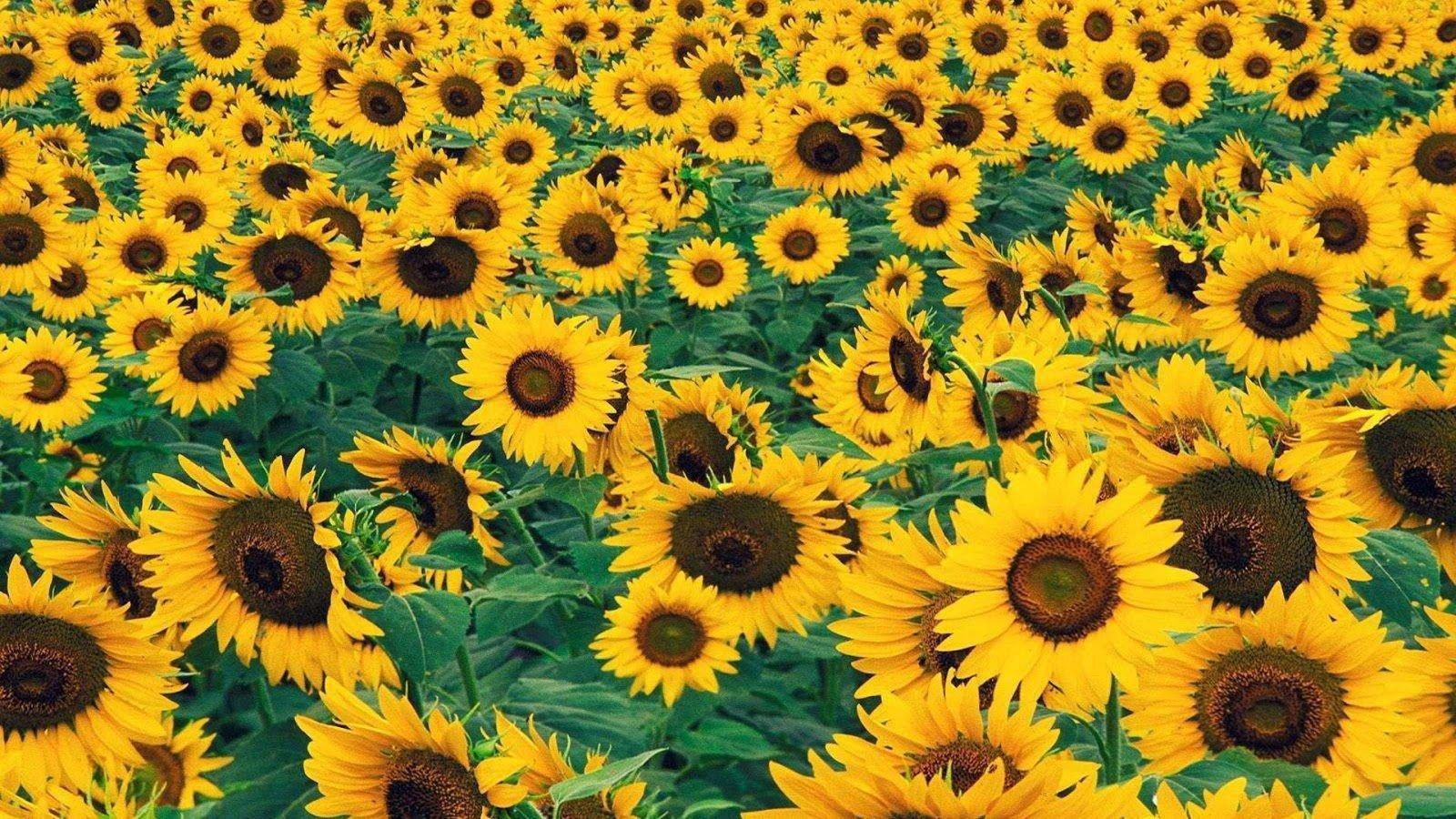 Free Download Sunflower Wallpaper Id 226532 Hd 1600x900 For Desktop