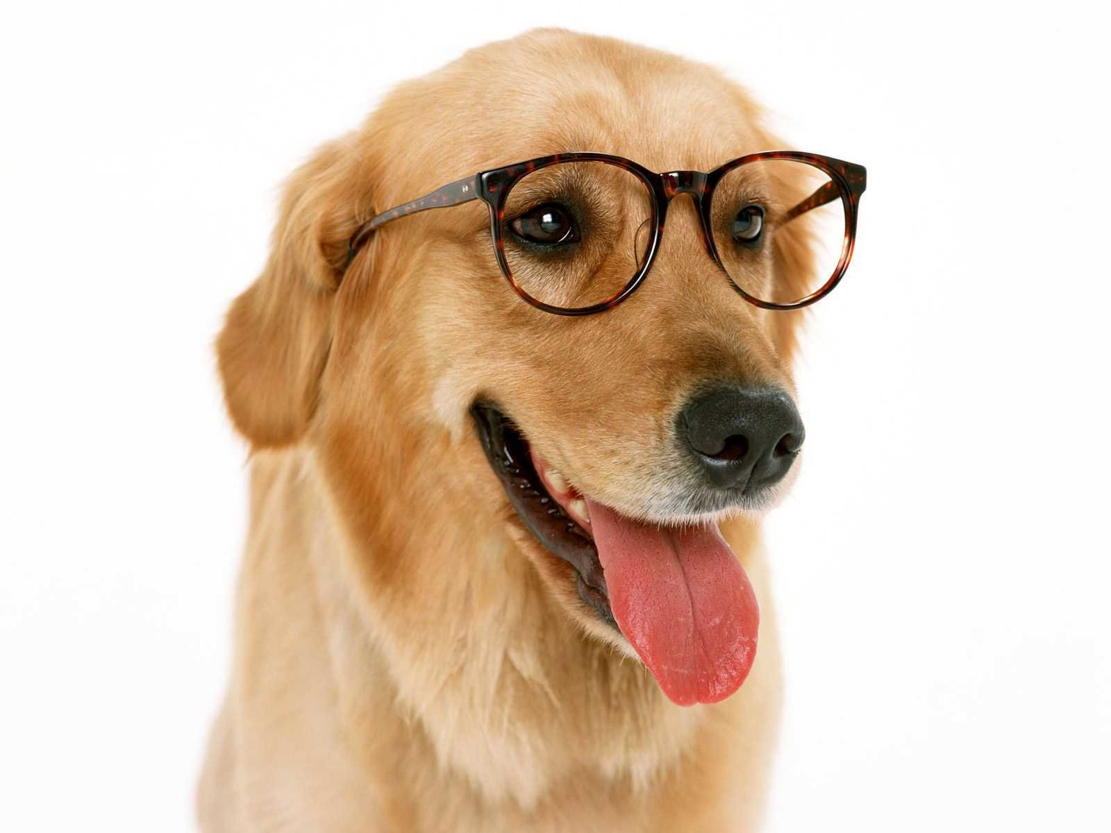Awesome Funny dog free background ID:219324 for hd 1600x1200 computer