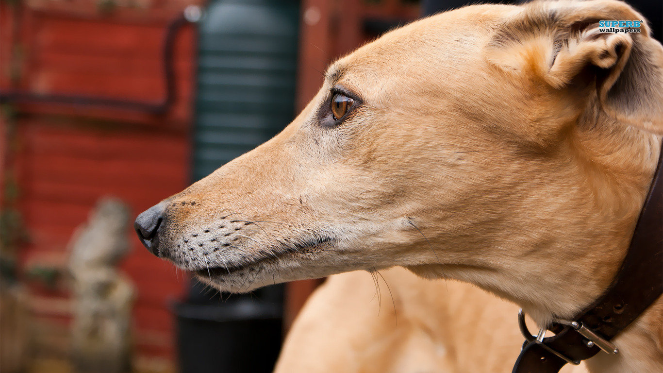 Best Greyhound wallpaper ID:259198 for High Resolution hd 1366x768 PC