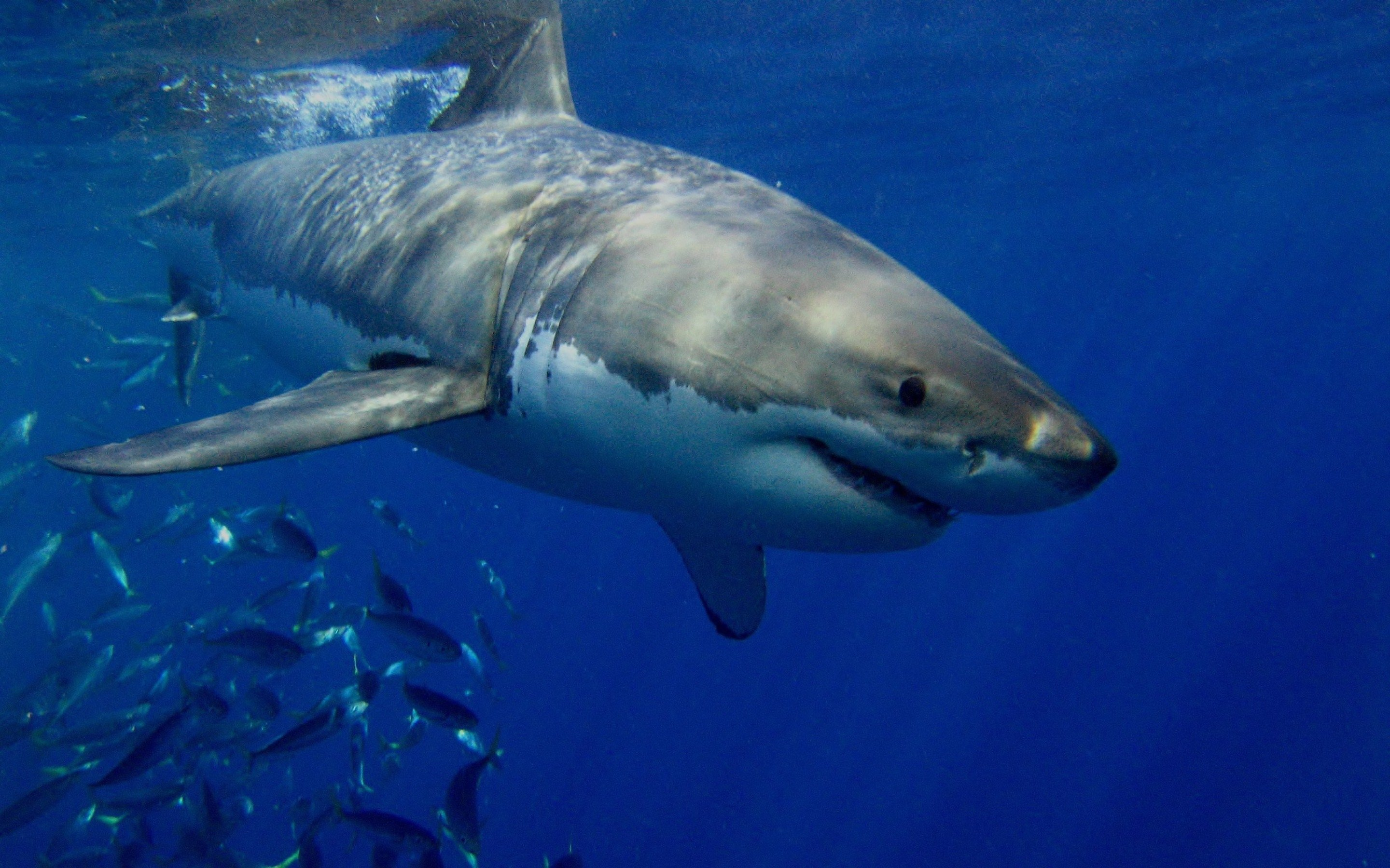 Awesome Great White Shark free wallpaper ID:374679 for hd 2880x1800 PC