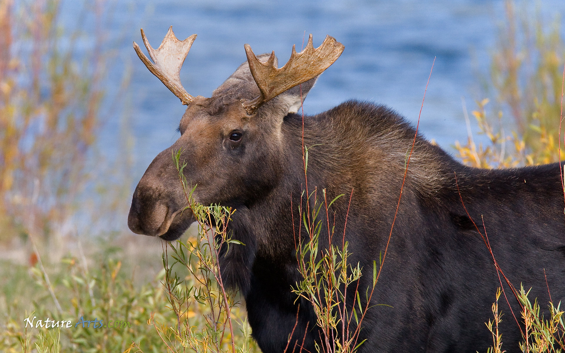 Free Moose high quality wallpaper ID:346725 for hd 1920x1200 computer