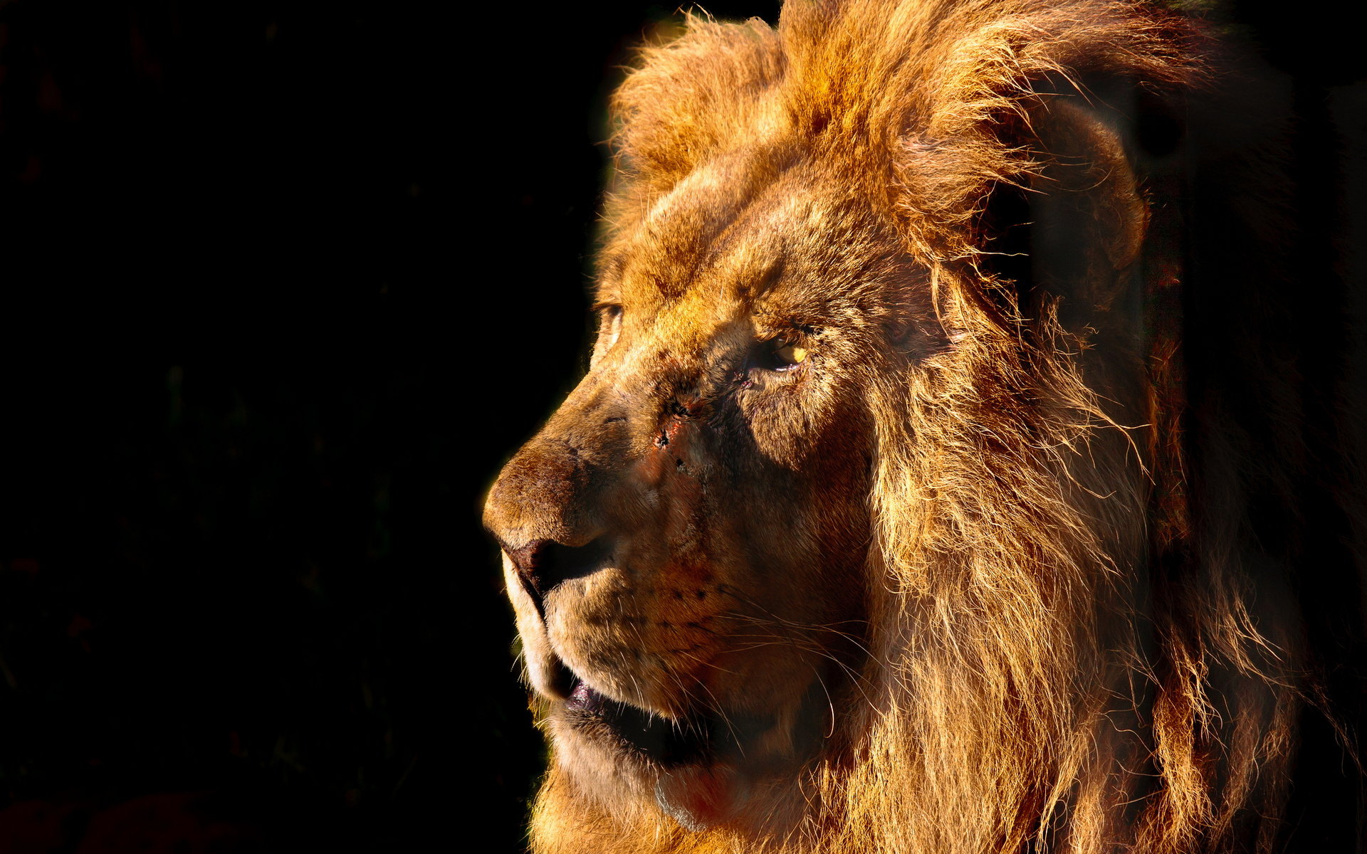 Free download Lion background ID:255464 hd 1920x1200 for desktop