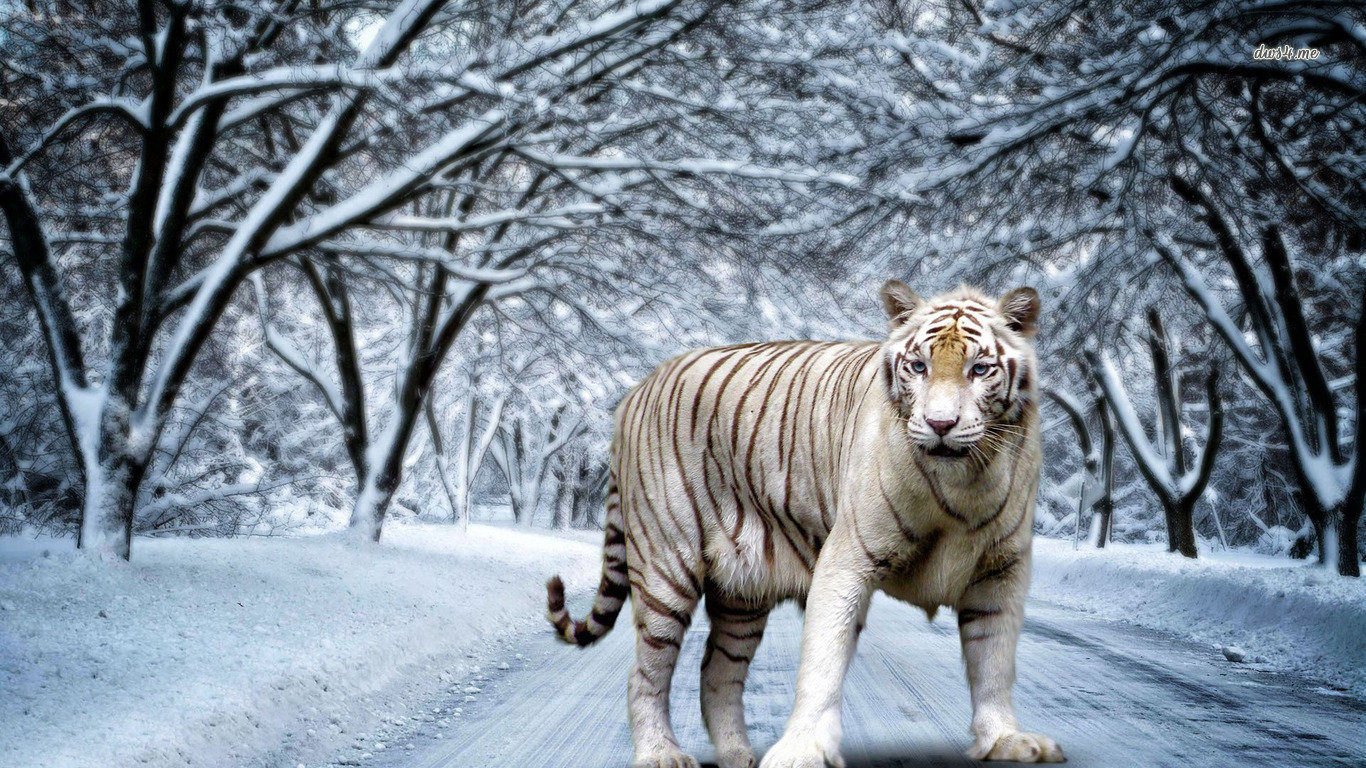 Awesome White Tiger free wallpaper ID:174946 for hd 1366x768 PC