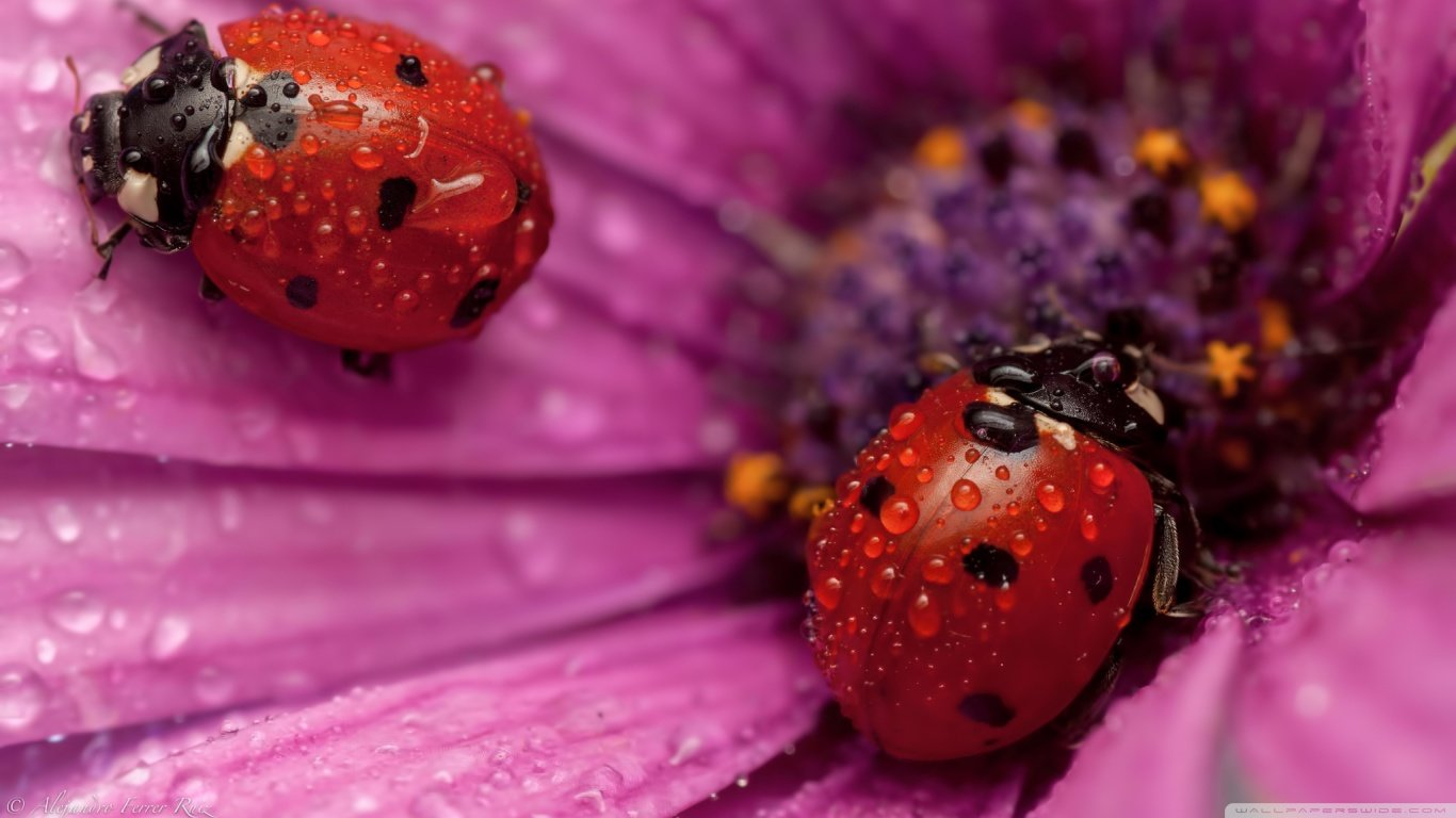 Download hd 1366x768 Ladybug computer background ID:270348 for free