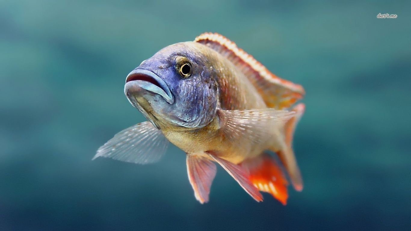 High resolution Fish laptop background ID:66378 for PC