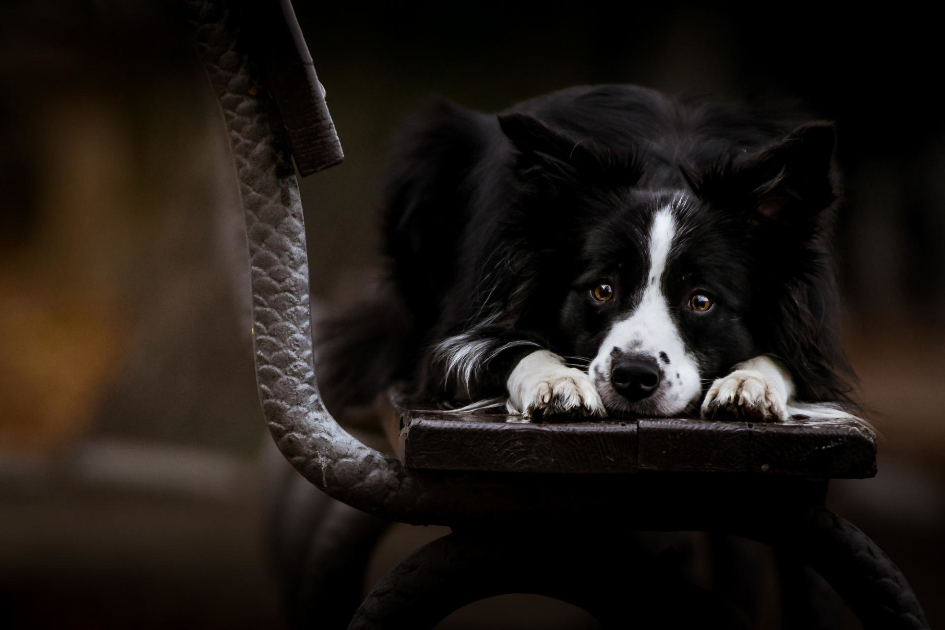 Free Border Collie high quality background ID:165857 for hd 1920x1280 desktop