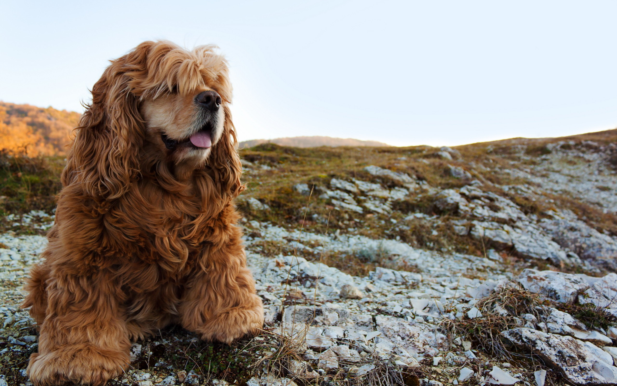 Awesome Cocker Spaniel free wallpaper ID:275103 for hd 2560x1600 computer
