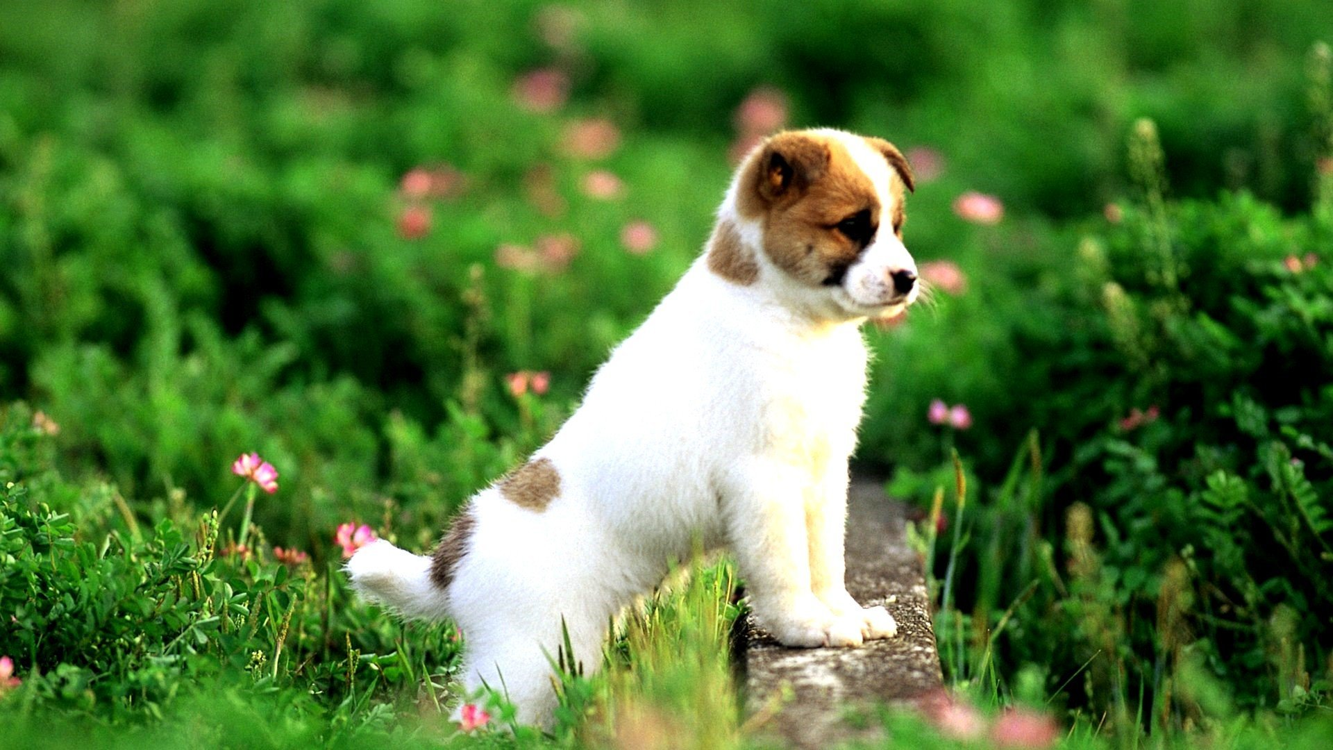 Awesome Puppy free wallpaper ID:46583 for 1080p PC