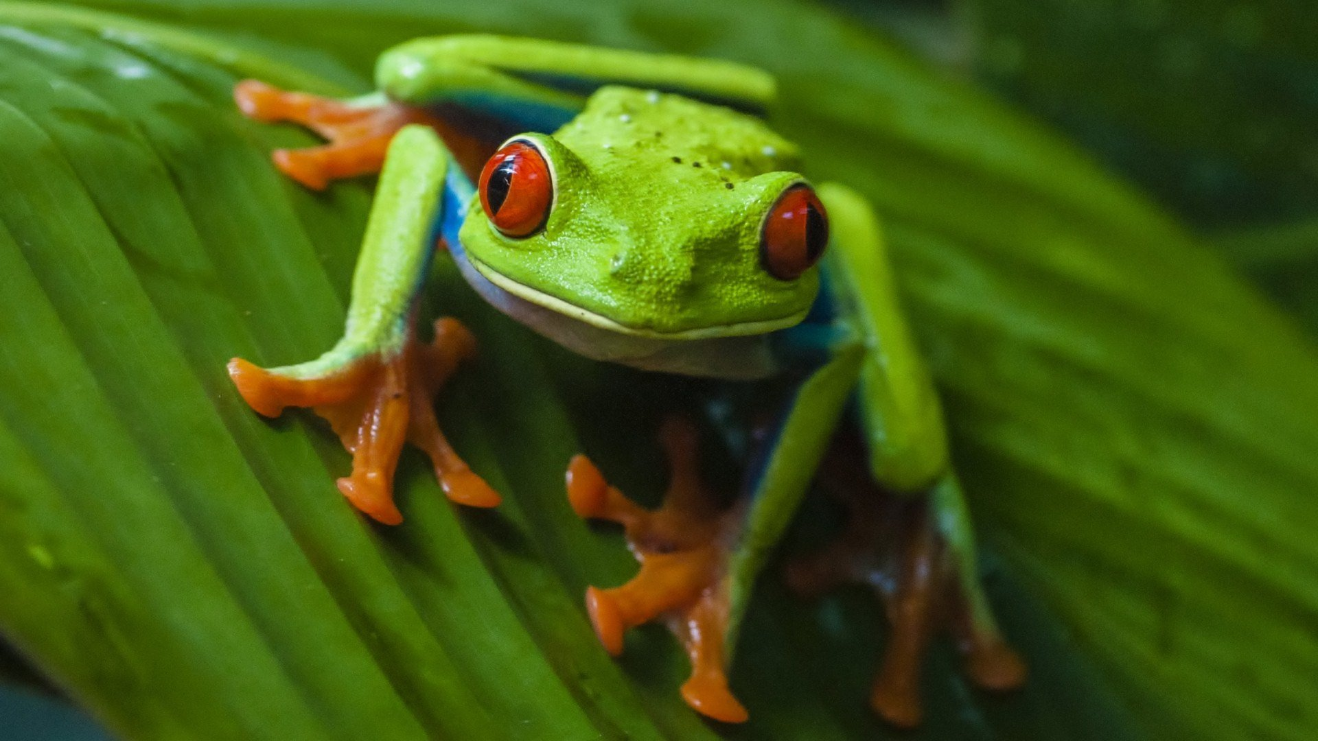 Free Red Eyed Tree Frog high quality wallpaper ID:20208 for hd 1920x1080 PC
