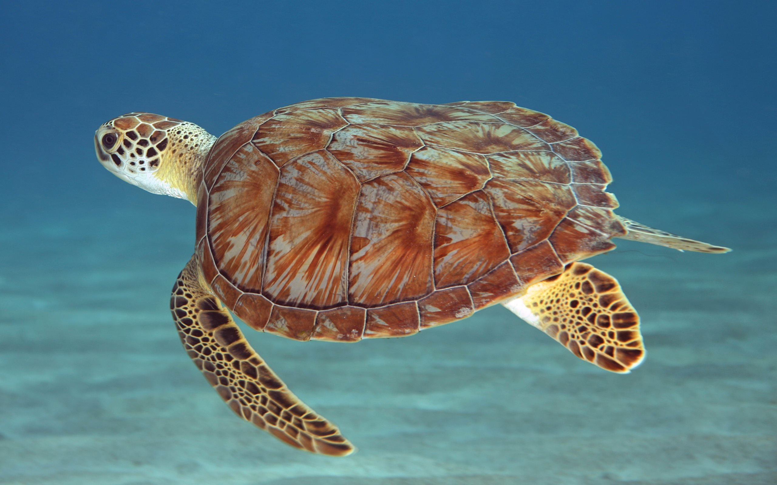Free download Turtle wallpaper ID:29842 hd 2560x1600 for PC