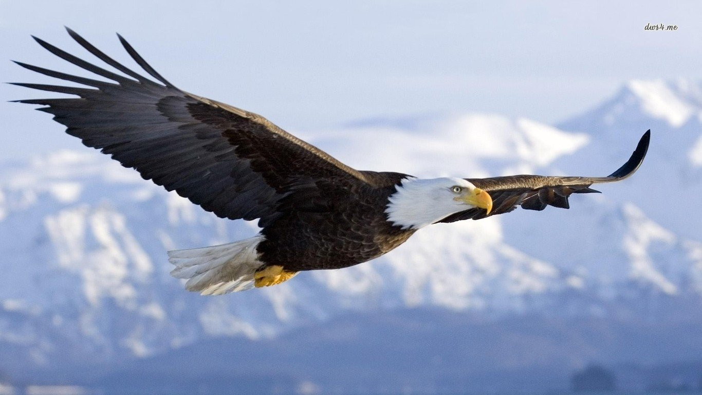 Download laptop American Bald Eagle computer wallpaper ID:68605 for free