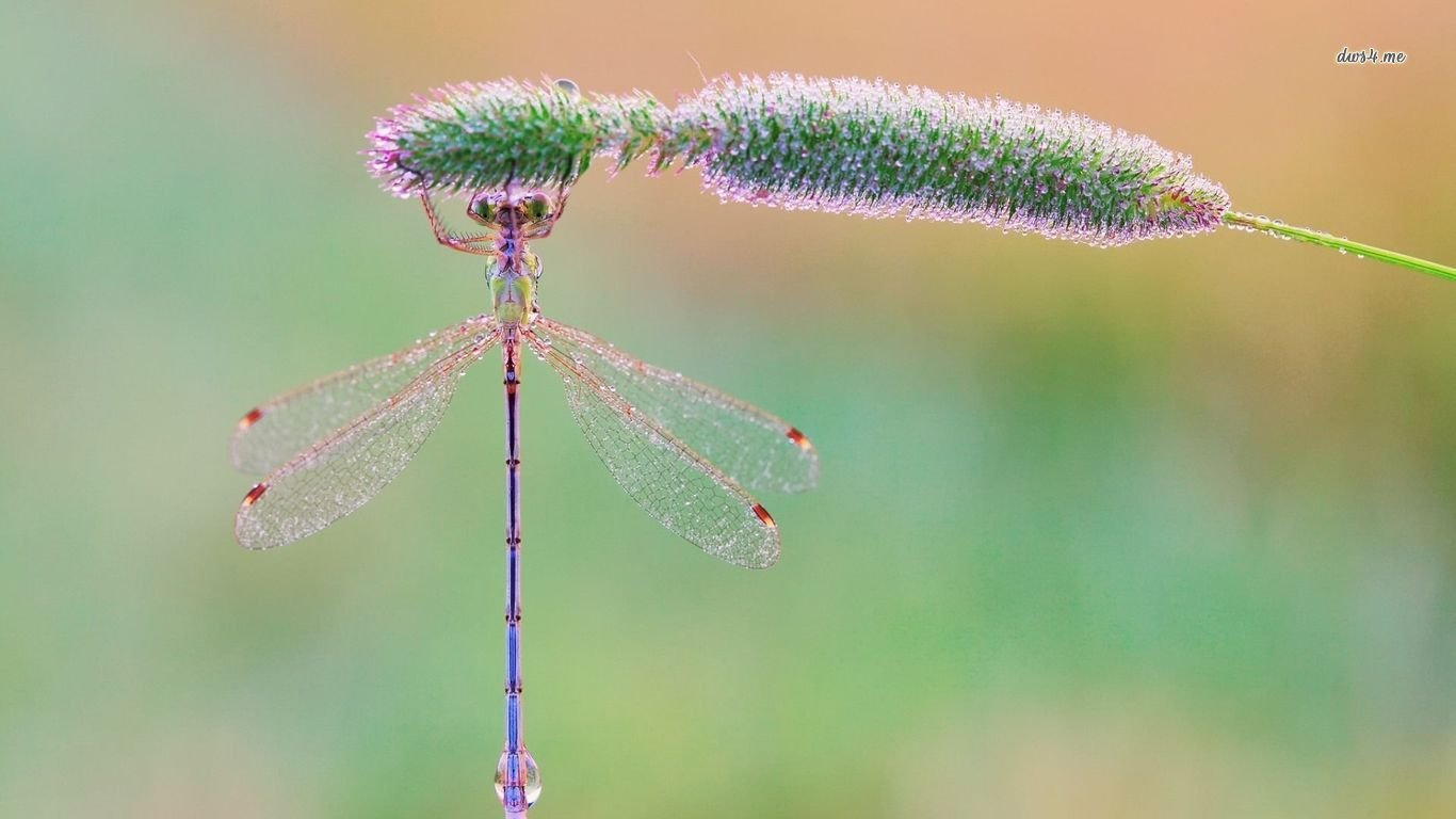 Free download Dragonfly wallpaper ID:467690 1366x768 laptop for PC
