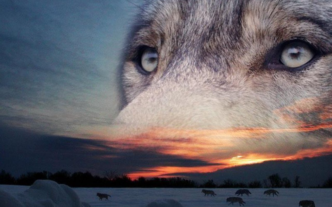Free Wolf high quality background ID:117679 for hd 1280x800 PC