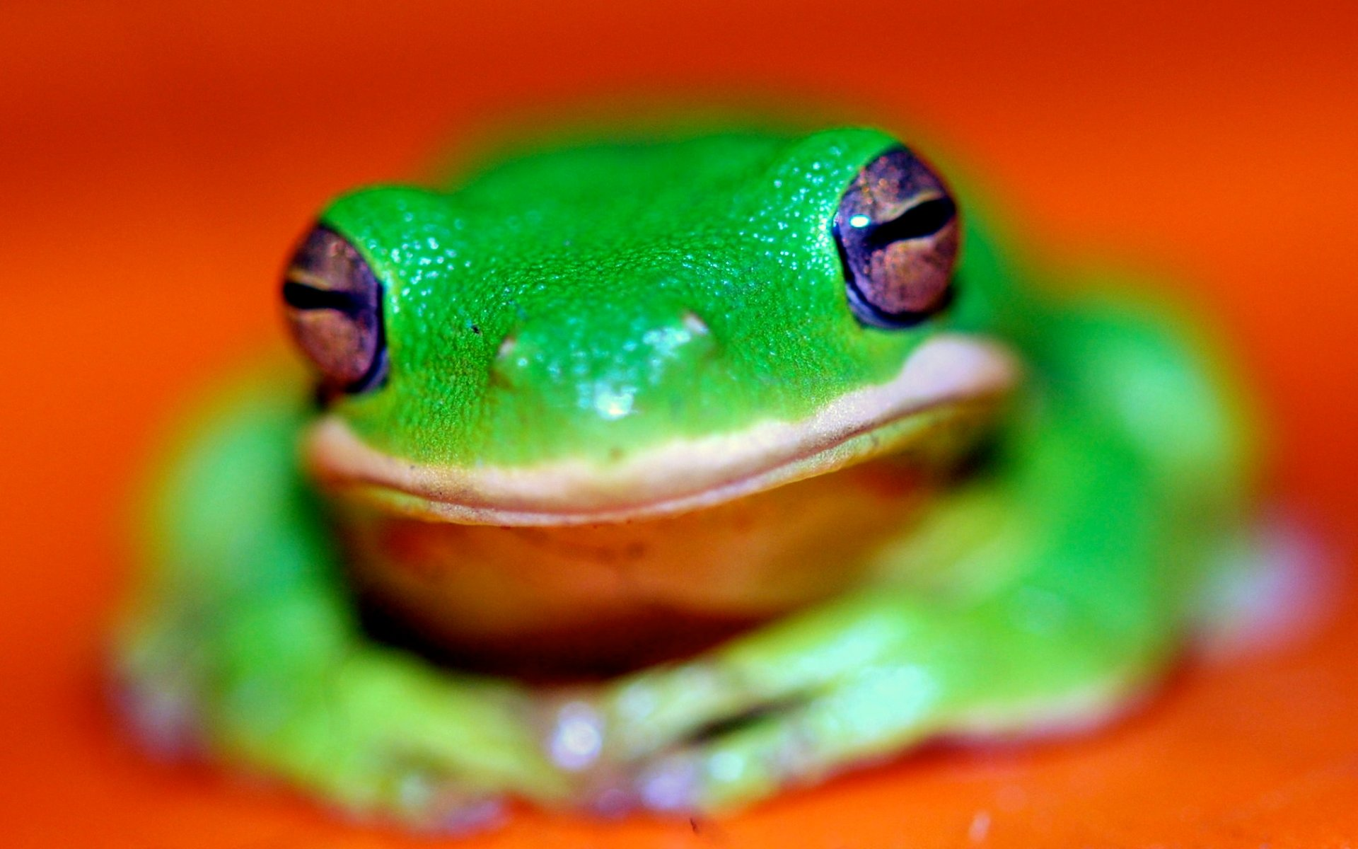 Download hd 1920x1200 Frog computer background ID:328948 for free