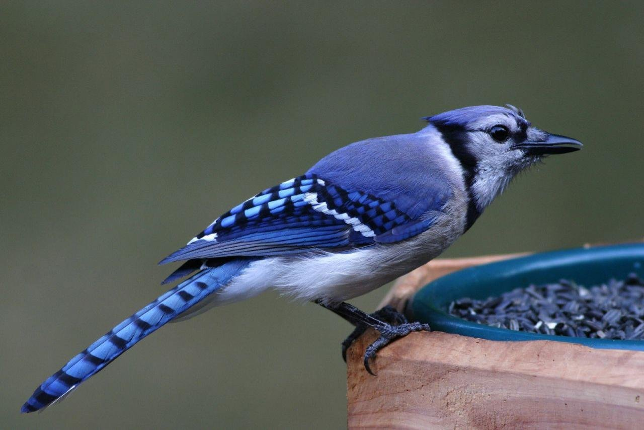 Free Blue Jay high quality background ID:158373 for hd 1280x854 computer