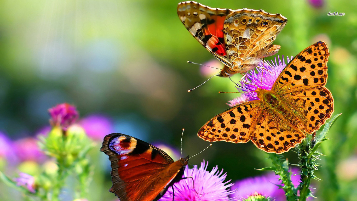 Free download Butterfly wallpaper ID:167529 1366x768 laptop for PC