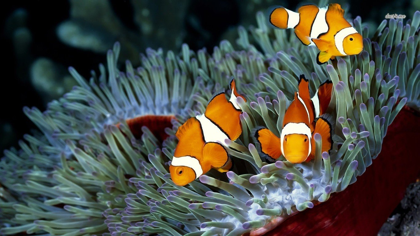 Awesome Clownfish free background ID:53267 for 1366x768 laptop desktop