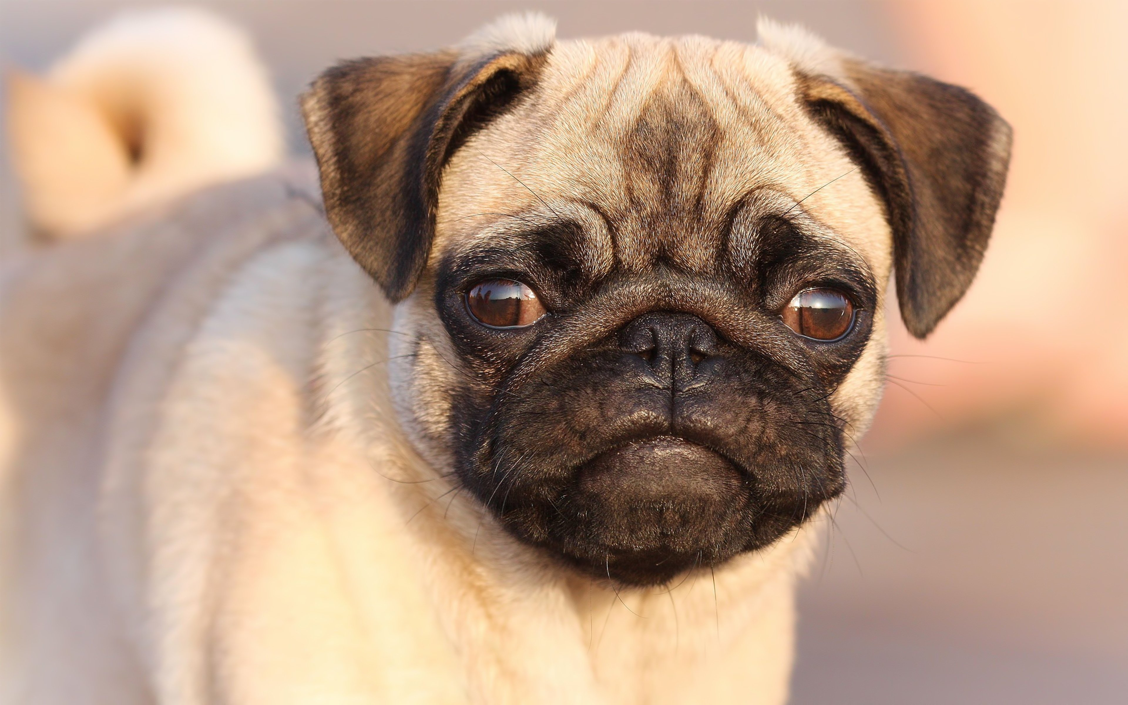 High resolution Pug hd 3840x2400 background ID:282858 for PC
