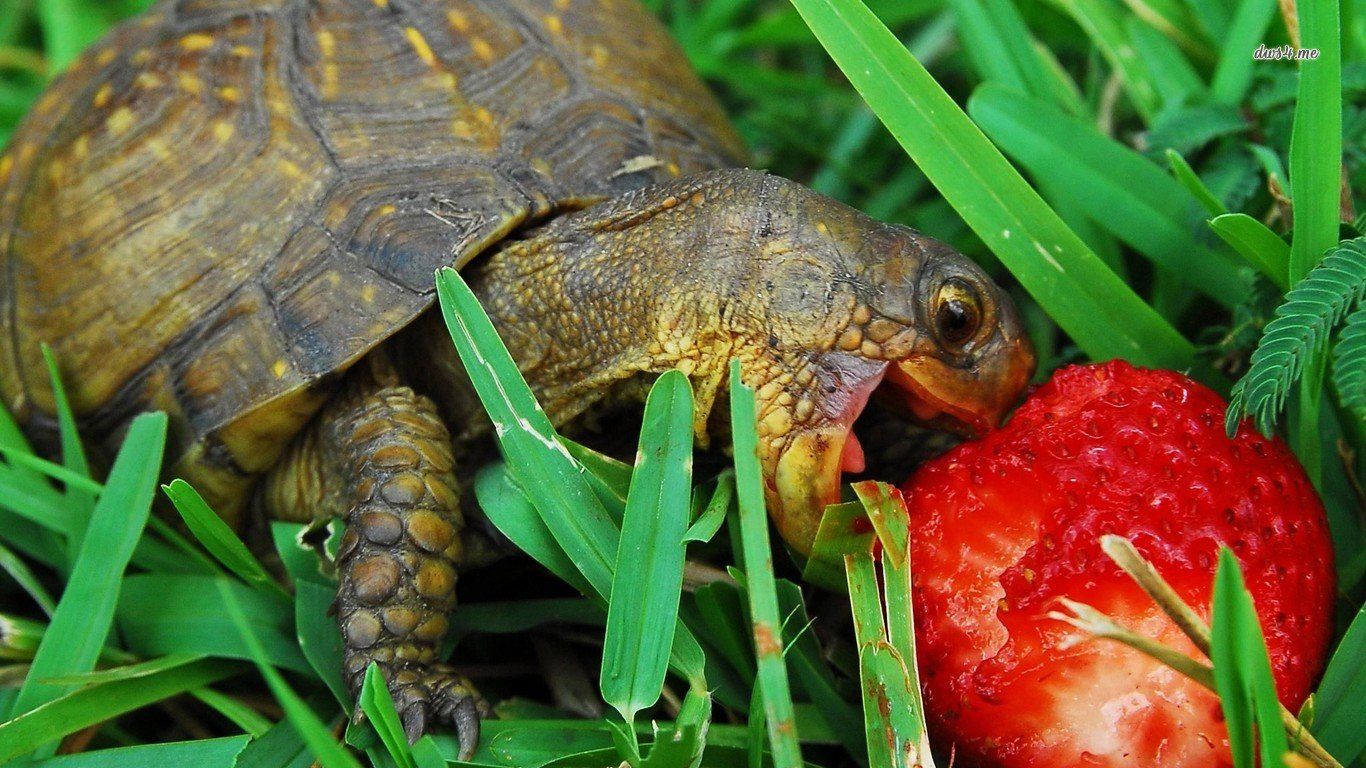 Free download Turtle background ID:29770 1366x768 laptop for desktop