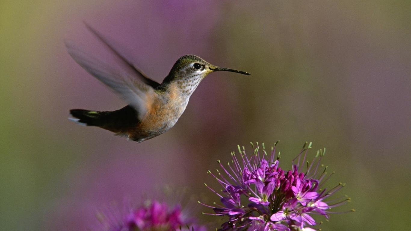 Free download Hummingbird wallpaper ID:215652 hd 1366x768 for desktop