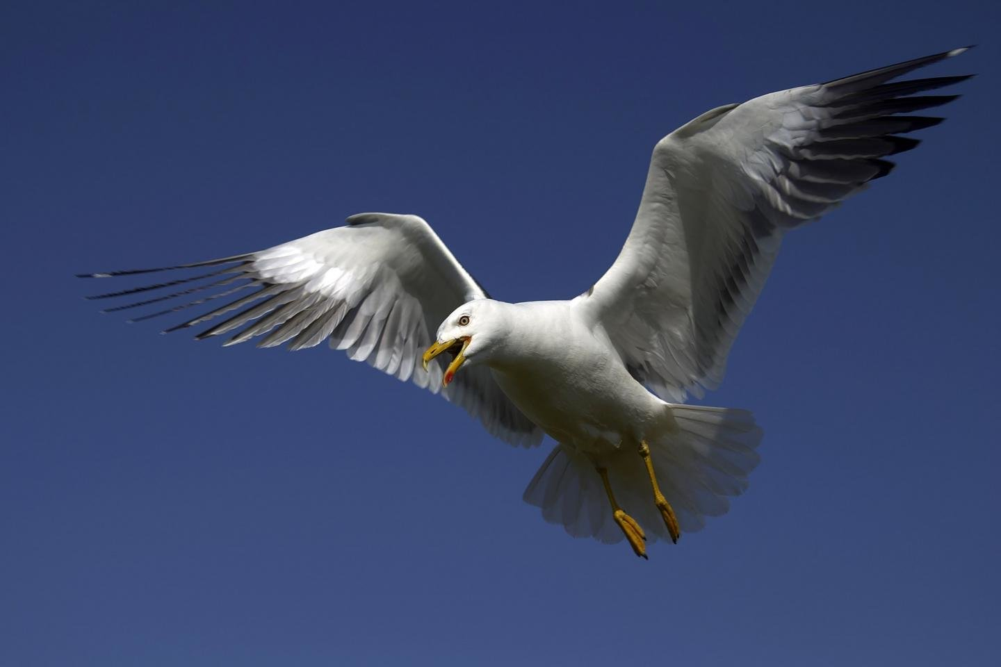 Free Seagull high quality background ID:66843 for hd 1440x960 desktop