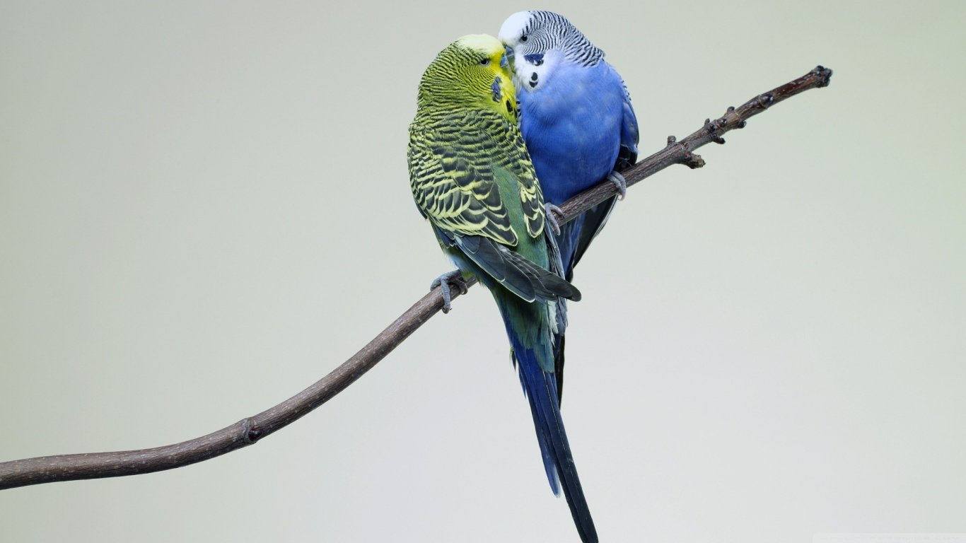 Free download Budgerigar background ID:32565 1366x768 laptop for desktop
