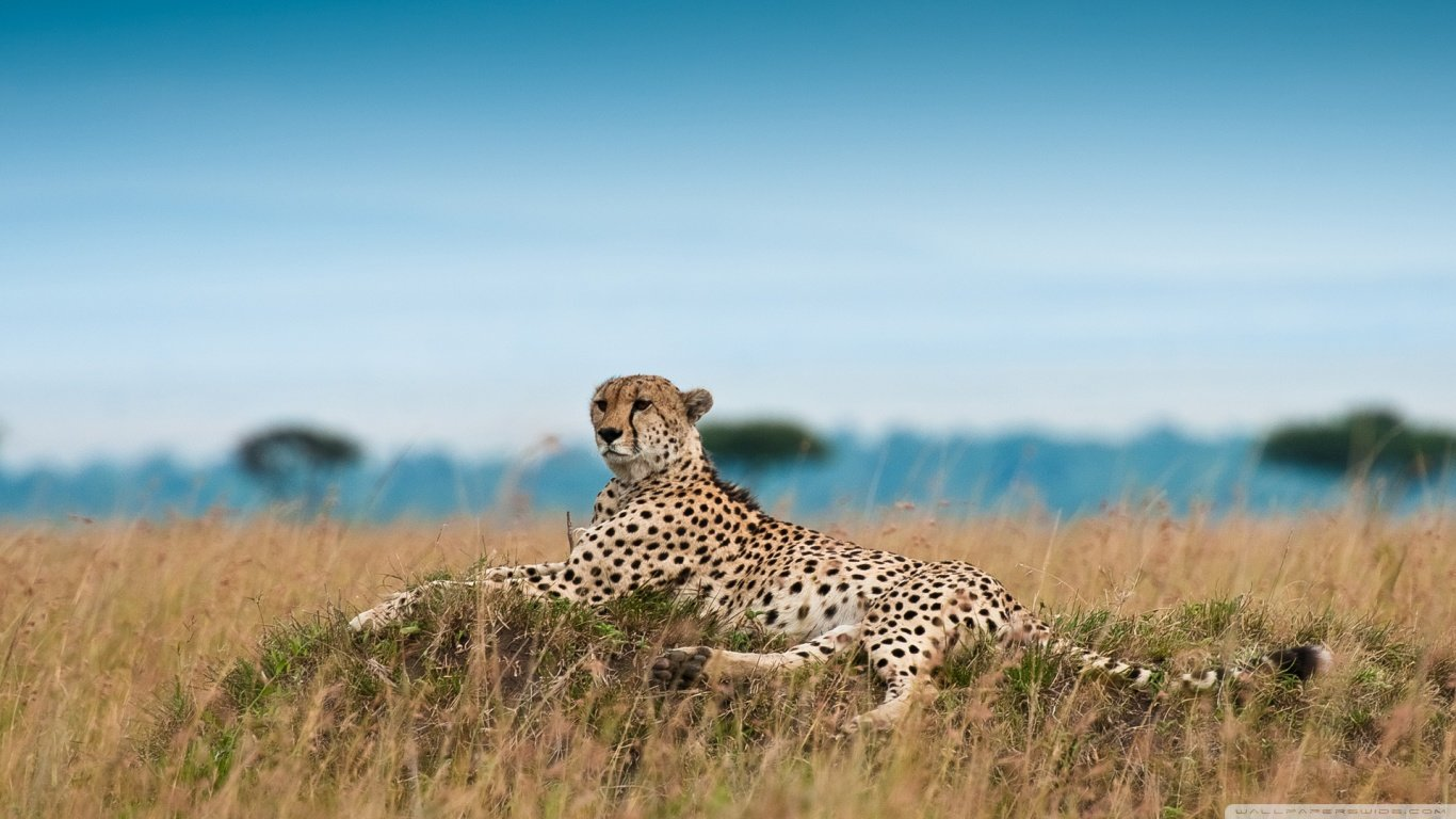 Free download Cheetah wallpaper ID:161900 hd 1366x768 for PC