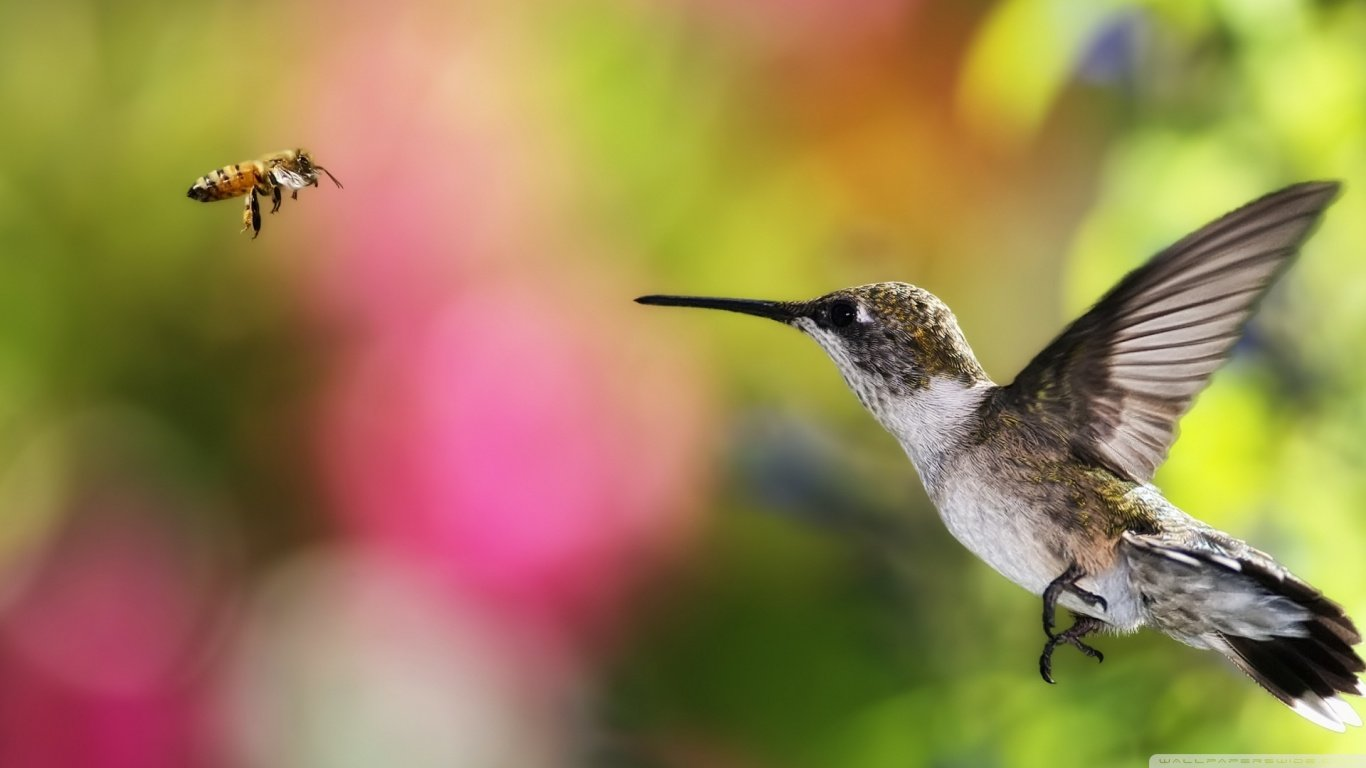 High resolution Hummingbird 1366x768 laptop wallpaper ID:215831 for PC