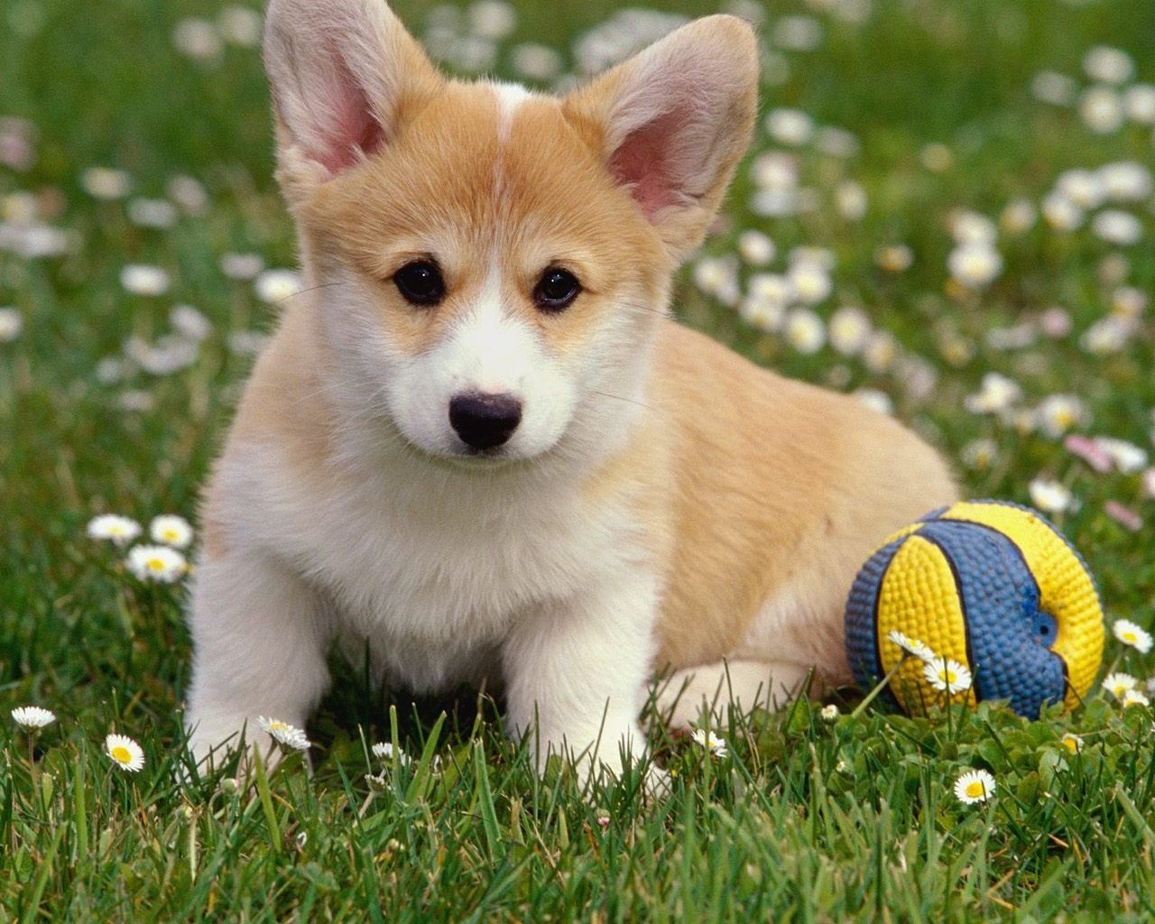 Best Corgi background ID:47774 for High Resolution hd 1280x1024 PC