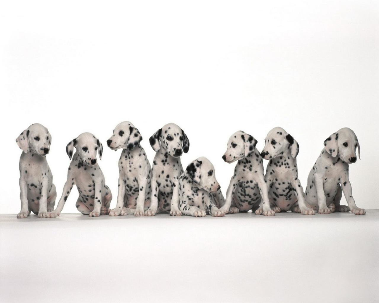Free download Dalmatian background ID:433555 hd 1280x1024 for PC