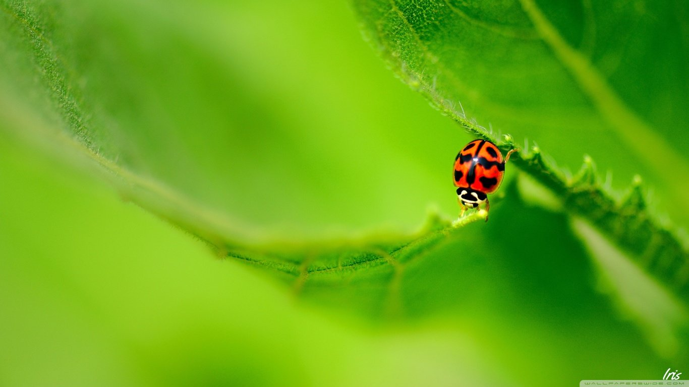 Free Ladybug high quality wallpaper ID:270551 for hd 1366x768 desktop