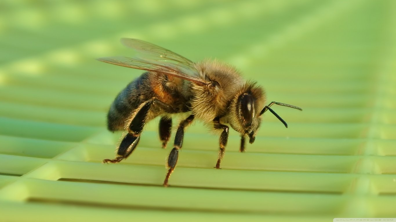 Best Bee background ID:460626 for High Resolution hd 1366x768 computer