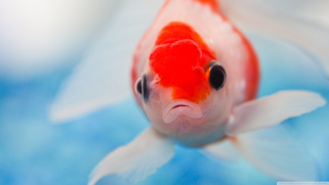 Best Goldfish background ID:464086 for High Resolution laptop desktop