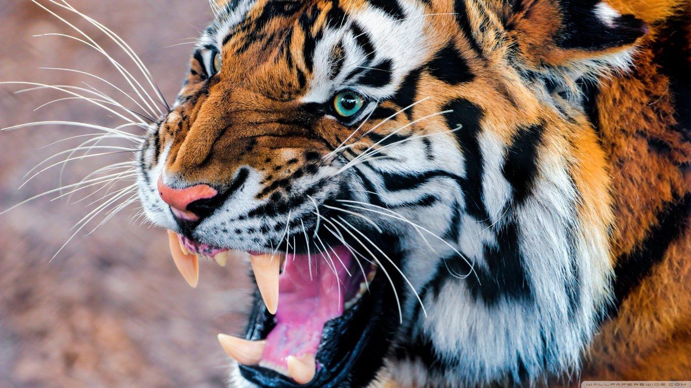 high resolution tiger hd 1366x768 wallpaper id:116076 for desktop